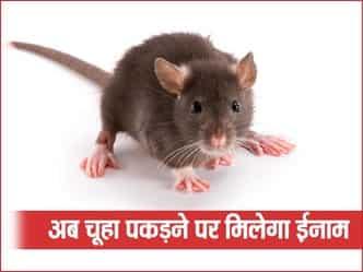 यहां की सरकार अब एक चूहा पकड़ने के लिए दे रही है 20 हजार