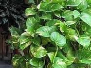 मनी प्लांट की सूखी हुई पत्तियां करती हैं ये संकेत...