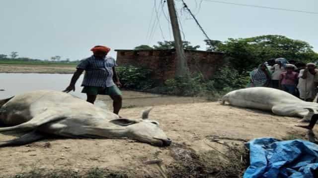 पानी भरे खेत में उतरा करण्ट, एक जोड़ी बैलों की मौत