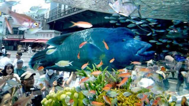 humphead fish