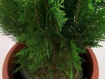 मोरपंखी का सूखा हुआ पौधा देता है ये संकेत